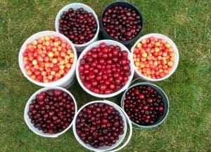 8 buckets of dark sweet cherries, rainier cherries and bing cherries